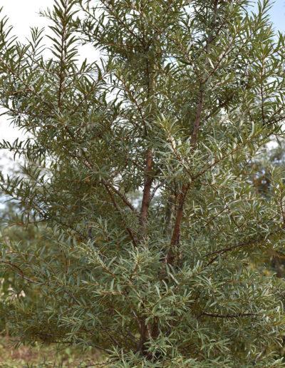 arbust-de-catina