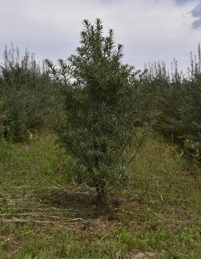 arbusti-de-catina