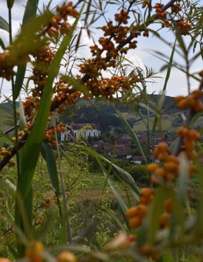 exploareaza-plantatia-de-catina-ecologica-biserica-senereus-judetul-mures