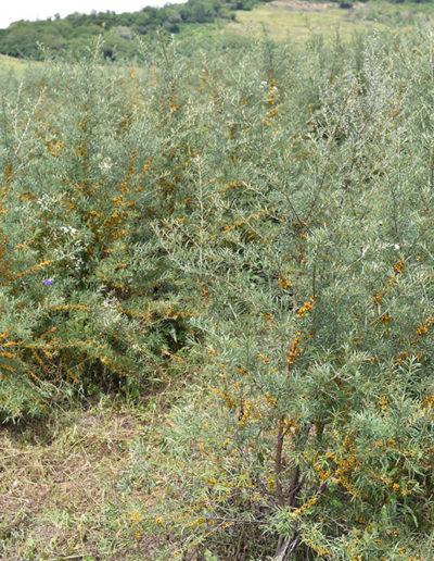 plantatia-de-catina-ecologica-Senereus