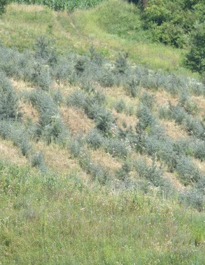plantatie-catina-al-treilea-an