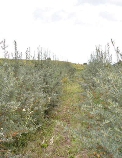 plantatie-ecologica-de-catina-judetul-mures